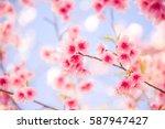 Sakura Flower Or Cherry...