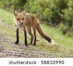 Fox Licking Lips