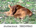 Red Commercial Calf Sleeping I...