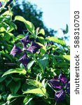 Purple Clematis In The...