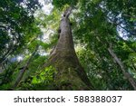 looking up at canopy of giant... | Shutterstock . vector #588388037