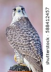 Small photo of The gyrfalcon, also spelled gerfalcon, is a bird of prey, the largest of the falcon species. The abbreviation gyr is also seen in the literature. It breeds on Arctic coasts and tundra, and the islands