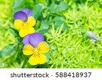 viola flower in garden. | Shutterstock . vector #588418937