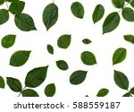 green leaves on white... | Shutterstock . vector #588559187