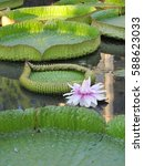 Small photo of Amazing delicate flower of pale pink waterlily Victoria cruziana as a backgrounds. Waterlily and it's pad leaf and bud afloat on the surface of a pond