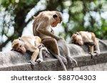macaca sinica on the rocks of... | Shutterstock . vector #588704303