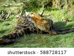 spotted hyenas and white backed ... | Shutterstock . vector #588728117