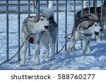 two aggressive dogs on a chain... | Shutterstock . vector #588760277