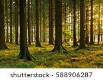 spruce tree forest in the warm... | Shutterstock . vector #588906287