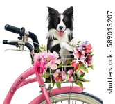 the puppy collie rides in the... | Shutterstock . vector #589013207