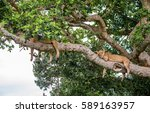 two lionesses lie on a big tree....   Shutterstock . vector #589163957