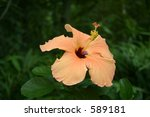 hibiscus   Shutterstock . vector #589181