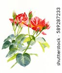 Watercolor Painting Of Two Red...