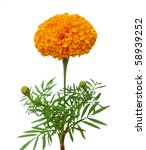 Orange Marigold Branch