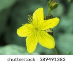 Small photo of Hypericum maculatum ( spotted St. Johnswort or imperforate St John's-wort)