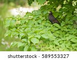 A Male Common Blackbird With...