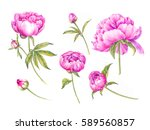 set of watercolor pink peonies. ... | Shutterstock . vector #589560857