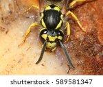 head and abdomen of a european... | Shutterstock . vector #589581347