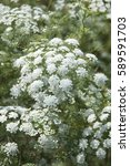Small photo of Ammi majus Queen of Africa