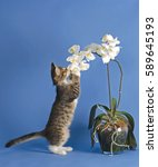 Stock photo tiny curious kitten sniffing beautiful white orchid flower against blue background 589645193
