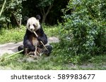 Giant Panda Sitting Still And...