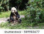 Giant Panda Sitting Still And...