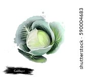 cabbage vegetable isolated on... | Shutterstock . vector #590004683