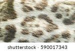 background of wild feline cat... | Shutterstock . vector #590017343