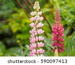 summer flowers series ... | Shutterstock . vector #590097413
