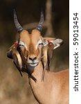 Постер, плакат: A young impala ram