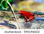 The Strawberry Poison Frog ...