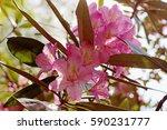 flowering branch of... | Shutterstock . vector #590231777