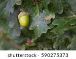 Acorn On Oak Tree
