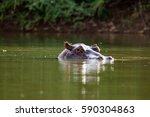 curious hippo in the gambia... | Shutterstock . vector #590304863