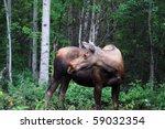 Moose Looking Backwards In...