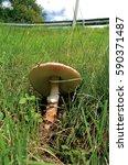 Small photo of Mature wild mushroom Amanita rubescens growing in a grass lawn roadside.