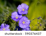 Small photo of Blue flowers of perennial blue Flax Alpine flax (Linum perenne)