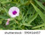 Purple Flower Sweet Potato...