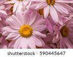 Pink Daisies Closeup.macro.