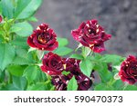 Small photo of rose in the garden Abracadabra Hocus Pocus