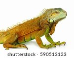 Portrait Of Big Iguana On...