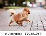 Pomeranian Spitz Dog On A Walk...