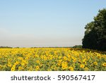 blooming sunflower field on the ... | Shutterstock . vector #590567417