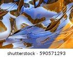 kelp weight loss laminaria sea... | Shutterstock . vector #590571293