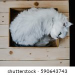 White Cat Rests In A Box. Swee...