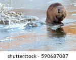beaver on ice. | Shutterstock . vector #590687087