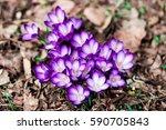 spring  flowers  beautiful... | Shutterstock . vector #590705843