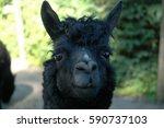Black Young Alpaca Looking...