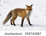 fox. red fox on the snow. | Shutterstock . vector #590742887