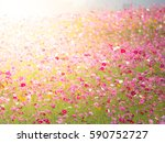 Flower Field Cosmos
